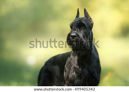 Dog Giant Schnauzer, pet walking in a summer park #499405342