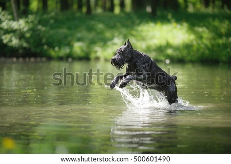 Dog Giant Schnauzer, pet walking in a summer park, bathed in the lake, runs on water #500601490