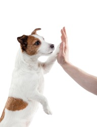 dog gives paw to man. Jack Russell Terrier on a white background in studio