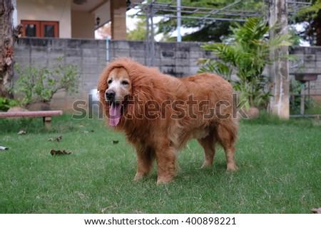 Dog Golden Lion wig. #400898221