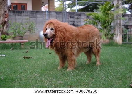 Dog Golden Lion wig. #400898230