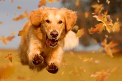 Dog, golden retriever jumping through autumn leaves in autumnal sunlight