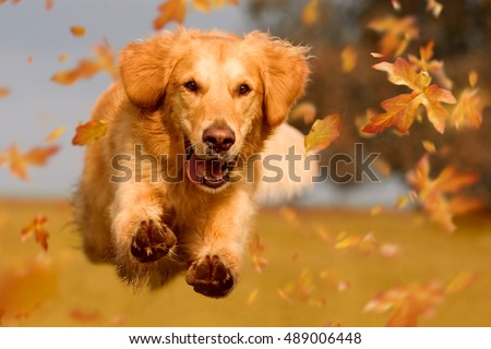 Dog, golden retriever jumping through autumn leaves in autumnal sunlight