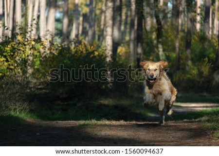 Dog, golden retriever runs and jumps happy playfull towards the camera position of owner  #1560094637
