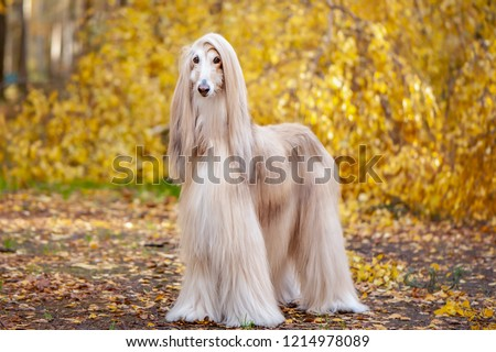 Dog, gorgeous Afghan hound, full-length portrait, against the background of the autumn forest, space for text #1214978089