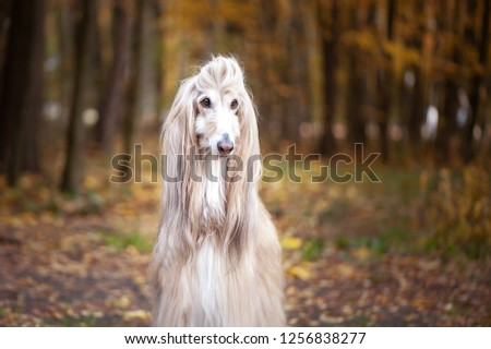 Dog, gorgeous Afghan hound, portrait, against the background of the autumn forest, space for text #1256838277