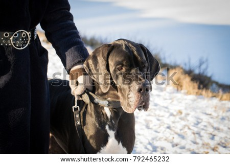 Dog. Great Black Great Dane With Hostess On Walk Nature In Sunny Winter Day Close Up. #792465232