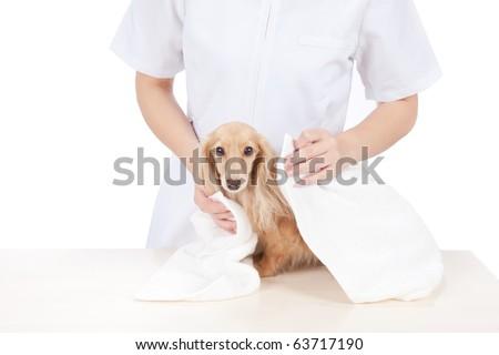 Dog groomer wipe dachshund