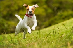 dog happy run russel jack jump pet cute terrier play summer dog jump grass happy run outdoor low angle playing pet small nature russel jack