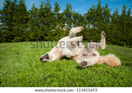 Dog having a roll on the grass