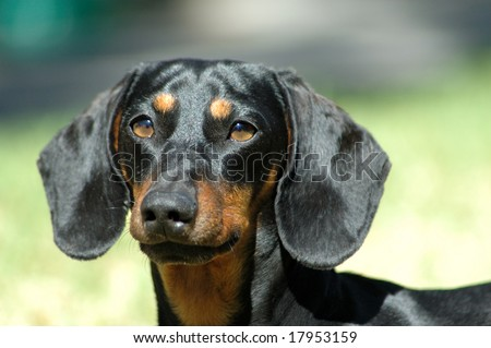 Dog head portrait of miniature black and tan smooth haired Dachshund