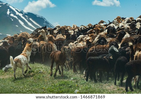 Dog herding goats and sheeps high in the Tien Shan mountains, Kyrgyzstan Stockfoto ©