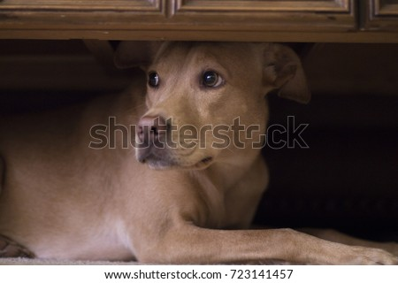 Dog hides under coffee table from thunder outside.