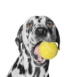 dog holding a ball -- isolated on white