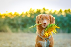 Dog holding a sunflower in iths mouth on a sunflowers field, dog tricks