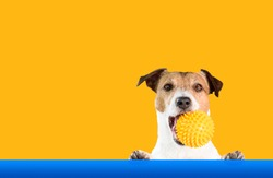Dog holding doggy toy ball in mouth with bright background