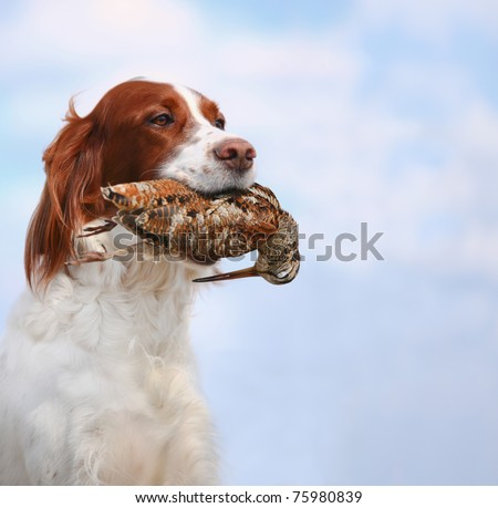 dog holds a woodcock