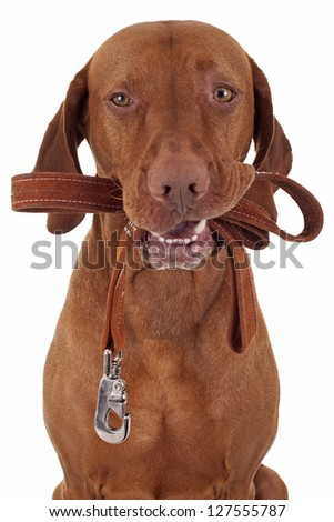 dog holds leash in mouth ready for a walk - stock photo