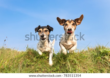 dog hopping over a green hill in a meadow Jack Russell 8 and 10 years old - hair style: broken and smooth - two little cute hunting dogs running and jumping joyfully over an obstacle in a meadow #783511354