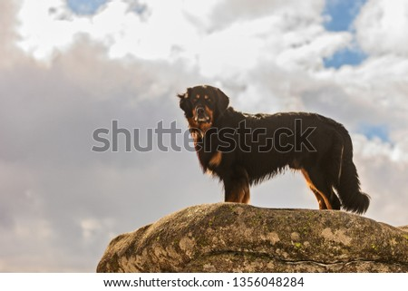 dog hovawart has nice posing on the big rock against sky #1356048284