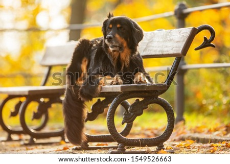 dog hovawart is lying on a park bench with upturned lip typical of breed hovie