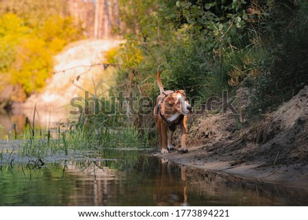 Dog in a beautiful natural scene in summer. Staffordshire terrier mutt walking by the river, telephoto shot
