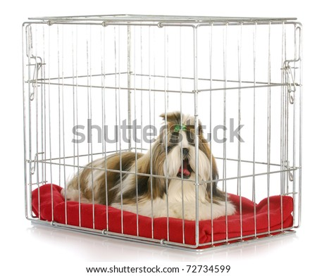 dog in a crate yawning - shih tzu bored of being crated on white background