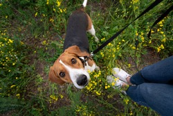dog in a field of yellow flowers. Estonian hound dog. Legs of the owner of the dog. view from above