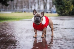 Dog in a santa`s sweater for a walk in the rain