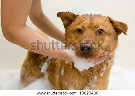 Dog in bathtub while owner washing.