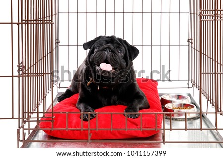 Dog in Crate Cage. Happy black pug in iron box. Isolated background. opened door #1041157399