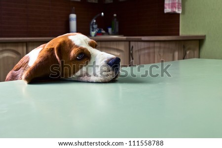 Dog in expectation of meal.
