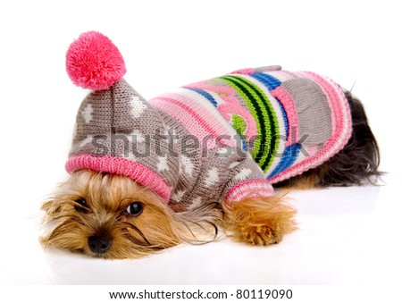 dog in fashionable clothes on a white background.Yorkshire Terrier.