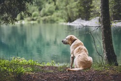 Dog in forest. Old labrador retriever looking at the lake.