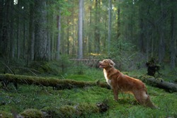 dog in forest. red Nova Scotia Duck Tolling Retriever in nature, sunlight