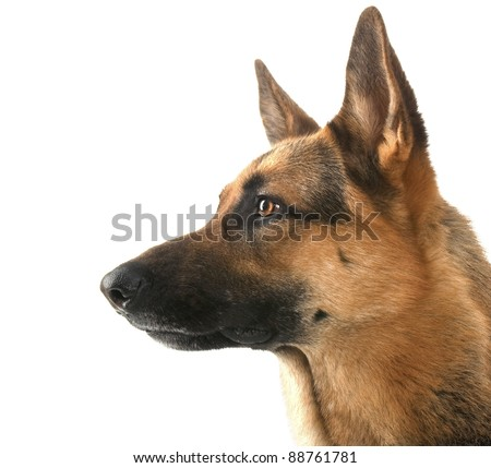 dog  in front isolated on white background. studio shot.