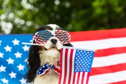 Dog in glasses holds American flag in his teeth against flag