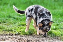 dog in grass, photo as a background , australian german shepard sheperd dog