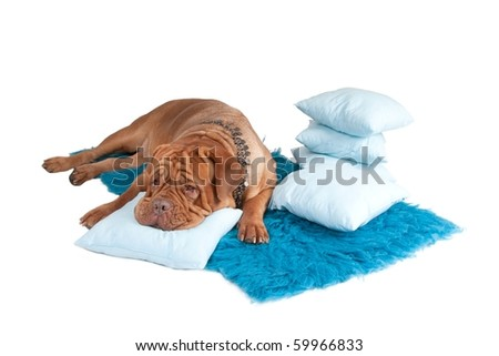 Dog in luxury necklace resting on a blue carpet and pillows - stock photo