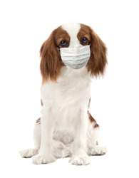dog in medical mask, on white background, isolated. Concept covid-19 coronavirus pandemic