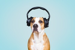 Dog in noise cancelling headphones, blue isolated background. The concept of pets being afraid of loud noises or fireworks