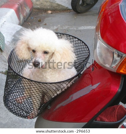 Dog in Scooter Basket