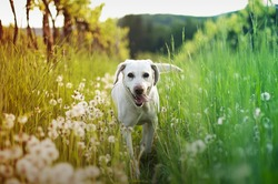 dog in tall grass with dandelions
