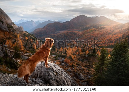 dog in the autumn mountains at sunset . Nova Scotia Duck Tolling Retriever in dolomites Alps. Italian landscape. color fall Imagine de stoc ©