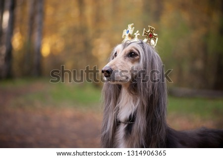 Dog in the crown  afghan hounds. In royal clothes on a natural background. Dog lord  or prince, dog power theme #1314906365