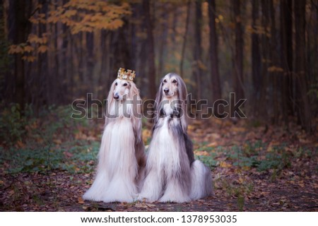 Dog in the crown,   afghan hounds ,  in royal clothes, on a natural background. Dog lord, prince, dog power theme #1378953035