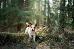 dog in the forest on moss. Sweet Jack Russell on nature