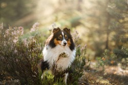 dog in the forest. Sunlight. Pet on the nature. Sheltie tricolor in nature