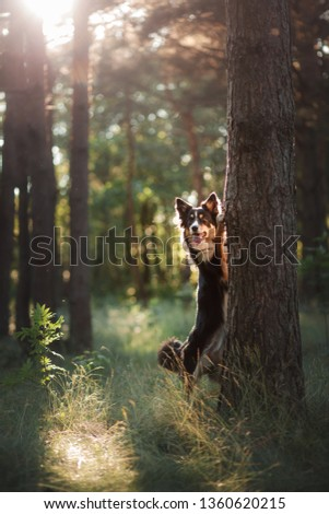 dog in the forest the peeps. tricolor border collie in nature. Pet for a walk in wood