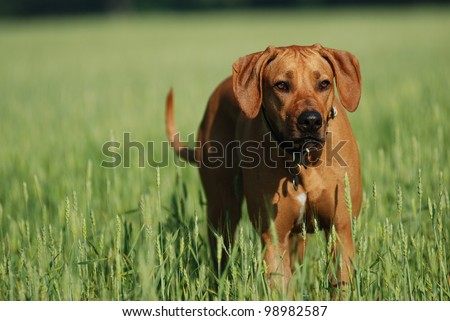 Dog in the grain field